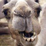 Tunisia. Un cammello Coca-Cola dipendente star dello zoo locale