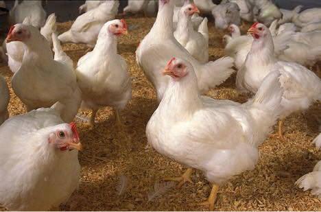 E adesso anche i polli alla diossina
