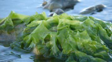 Le alghe danno sollievo dall'artrosi