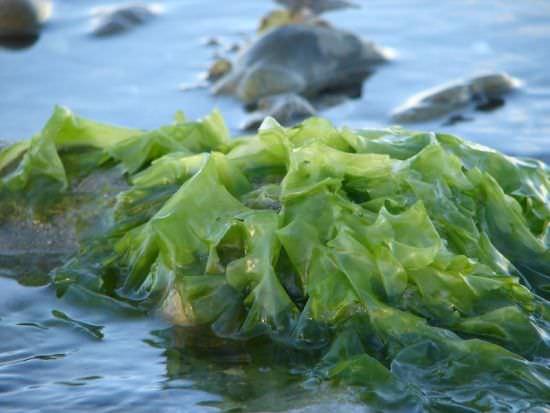 Alghe, più rischio cancro alla tiroide per le donne