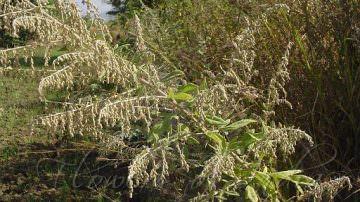 Le foglie di artemisia sono antibatterici naturali