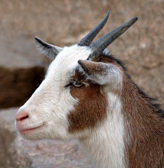 Cioccaprino e capriccino: il latte di capra regna sulle piste da sci