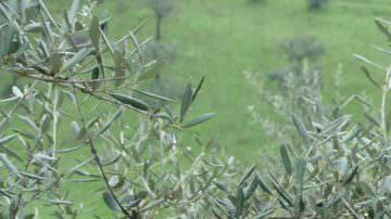Udine: Incontri sulla potatura dell'ulivo