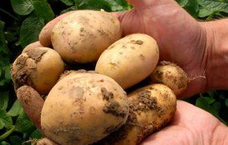 No OGM, no pesticidi: una patata naturale ma super