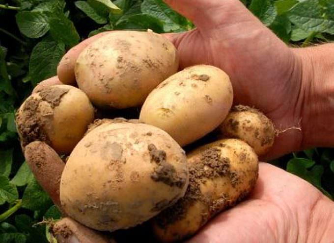 """Agricoltura: dopo l'insalata arrivano le prime patate di qualità """"cresciute dai rifiuti"""""""