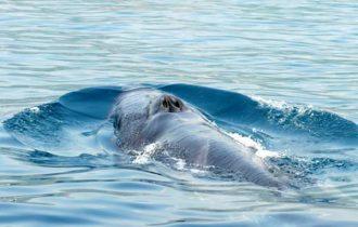 Balene a Lampedusa: E' necessario garantire la salvaguardia della biodiversità marina