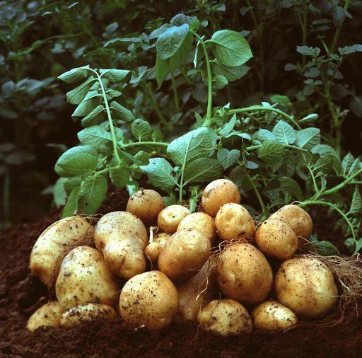 I Corsi di Patata in BO: Le ricette tipiche d'Italia a base di patata