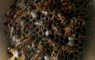 Vino, la tipicità è merito delle vespe
