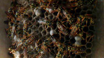 Le vespe producono antibiotici