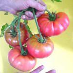 Pomodoro OGM: colore rosso e sapore gradevole