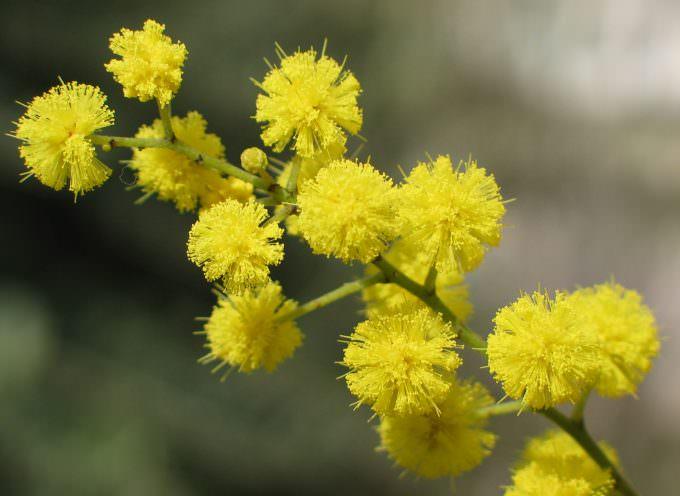 """8 marzo: il maltempo """"taglia"""" un terzo della produzione di mimosa"""
