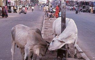 Farmaci dall'urina e dalle feci di vacca