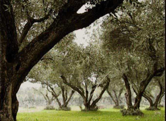 Perugia: Campionato regionale di potatura dell'olivo allevato a vaso policonico