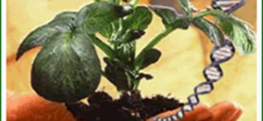 Agricoltura: A Pordenone il primo campo di mais Ogm