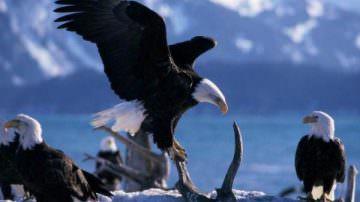 La Lipu lancia l'Sos, salviamo l'Aquila Reale