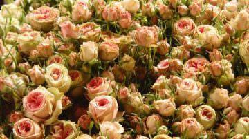 Stop ai voli: Distrutte 10 milioni di rose del Kenia