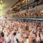 La selezione genetica ha aumentato le malformazioni del pollame da carne