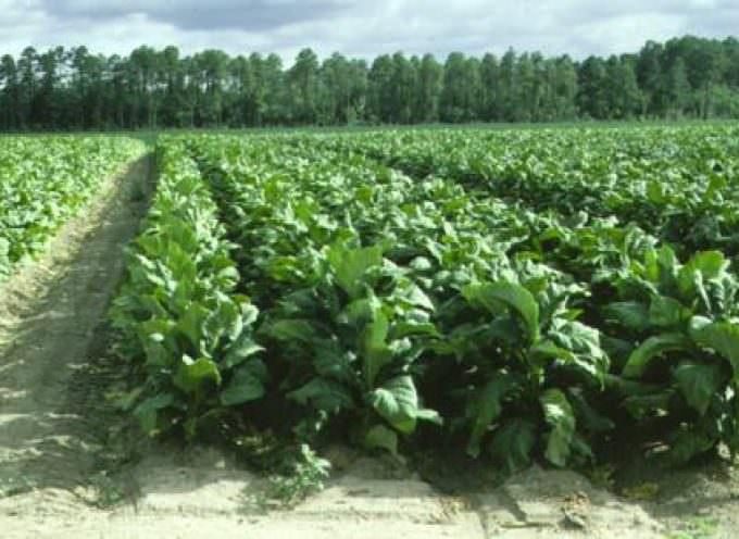 Tabacco: negoziati internazionali mettono a rischio la produzione in Italia