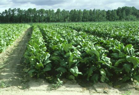 Misure di sostegno al settore del tabacco toscano