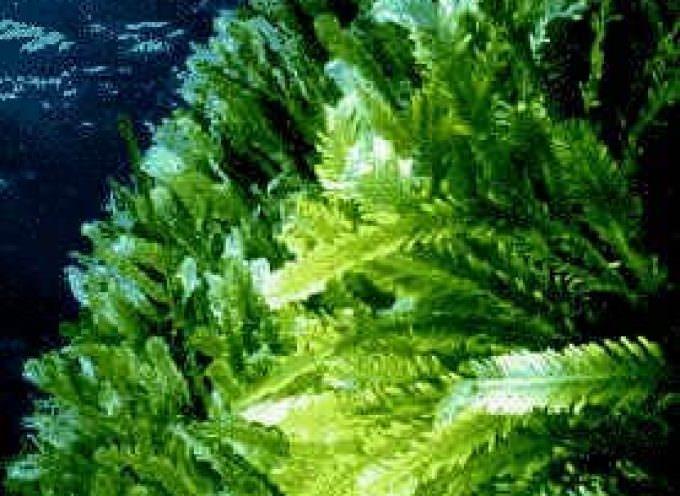 Fast food: pane alle alghe per mangiare più sano