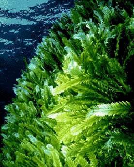 Dalle alghe un aiuto per i problemi di cuore