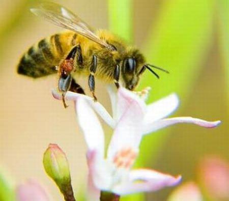 Maltempo: Coldiretti, allarme per sciopero api da pioggia no stop