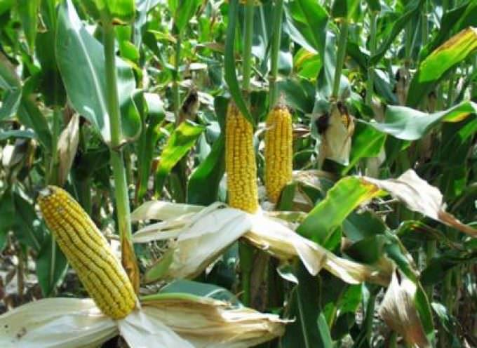 Mais OGM, l'EFSA boccia la ricerca francese
