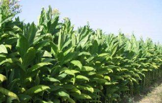 Tabacco: I produttori dicono no al bando del Burley
