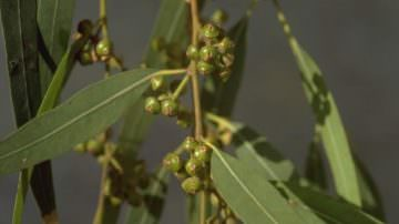 L'eucalipto frena gli attacchi di appetito