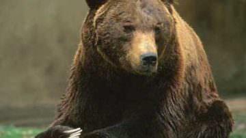 Contenimento animali selvatici: Prendi l'orso per la gola!