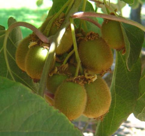 Batteriosi del kiwi: Serve una misura specifica contro le fitopatie