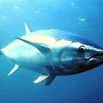 Pesce, contaminazione da mercurio più estesa del previsto