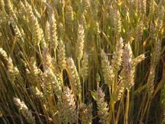 A Piazza Affari arriva Agrex, il future sul grano duro