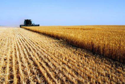 Decodificato il DNA del grano
