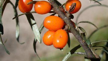 L'olio di olivello spinoso tutela la salute degli occhi