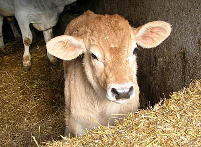 """Manovra: Coldiretti, vitello """"giusto"""" in piazza per quote latte"""
