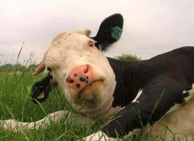 Nessun pericolo oggi per mucca pazza