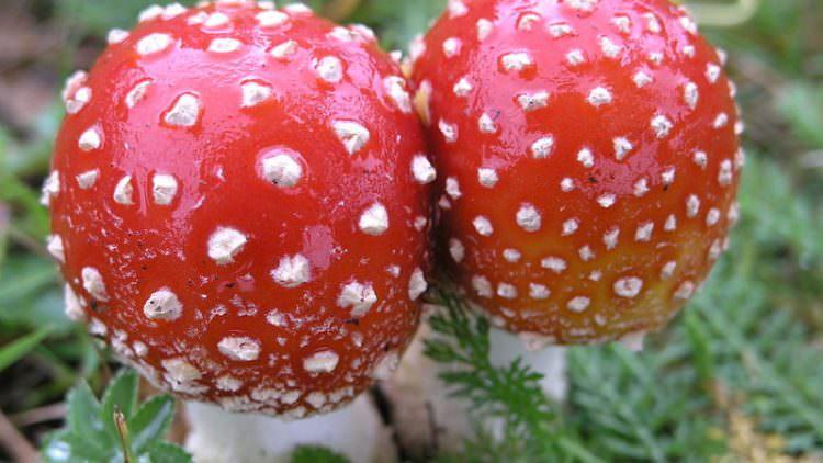Funghi velenosi, un decalogo per difendersi