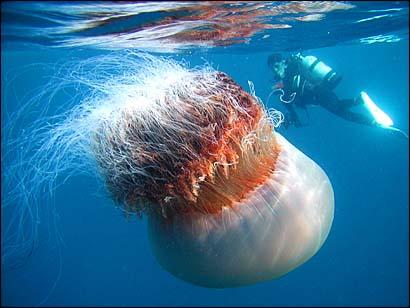 USA, una medusa morta arriva in spiaggia: 150 persone colpite