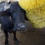 Cow wash. In Gran Bretagna apre il primo autolavaggio per mucche
