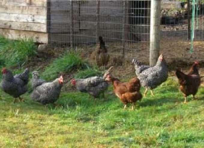 Se le galline sono libere, le uova sono più nutrienti