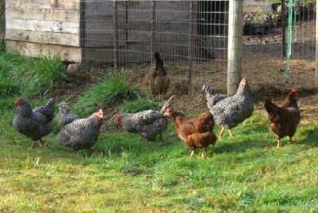 Influenza aviaria, l'UE pronta a risarcire gli allevatori