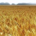Russia: Vietate le esportazioni di grano fino al 31 dicembre