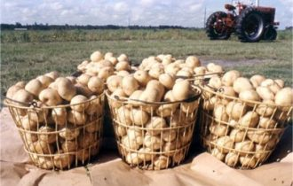 """Coldiretti: """"Bene l'accordo interprofessionale per le patate da industria"""""""