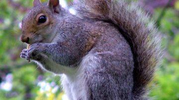Gran Bretagna, gli scoiattoli vanno in tavola