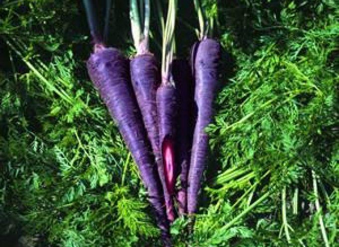 Le carote viola contrastano diabete, ipertensione ed obesità