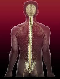 Rigenerato il midollo spinale manipolando un gene