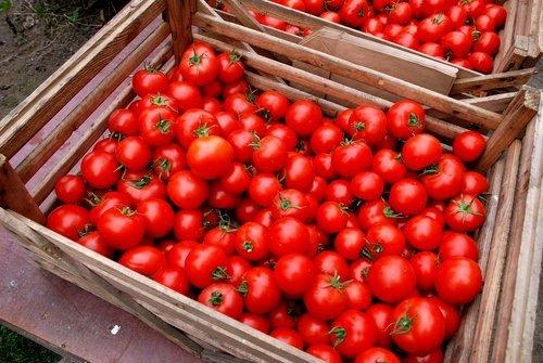 Pomodori: I produttori del Sud chiedono il rispetto dei contratti