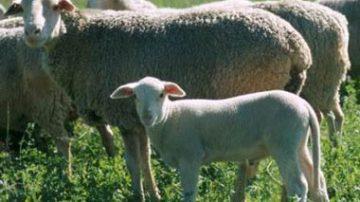 """Continua la protesta dei pastori sardi: """"Senza la pastorizia la Sardegna muore"""""""