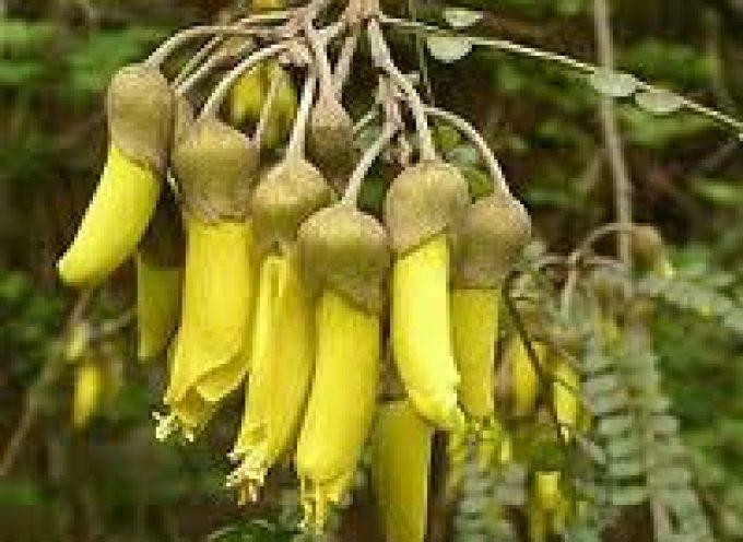 Huaimi: dalla Cina, il fiore per colorare gli alimenti in maniera sana e naturale
